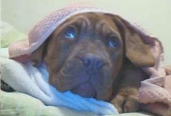 Anunt Imagine - VAND DOGUE DE BORDEAUX